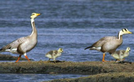 Hikvision to protect threatened bar-headed goose population
