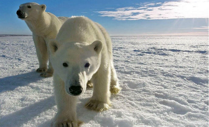 Remote town deploys Milestone camera/radar system to keep polar bears safe