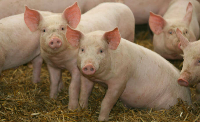A simple way to weigh pigs – using Hikvision cameras