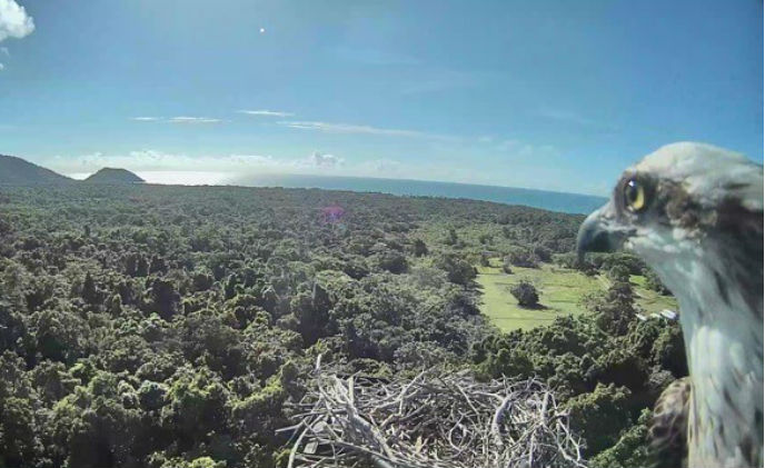 Daintree Rainforest Observatory monitors osprey nest with Milestone video