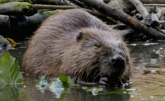 Spotlight on beavers: rare footage of beavers captured by Bosch