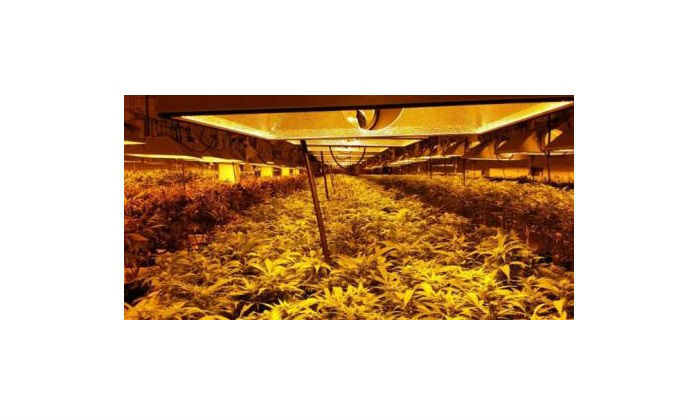 Optex REDSCAN laser detectors deployed at medical marijuana greenhouse